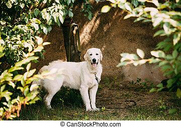 Yellow Golden Labrador Retriever Dog With Half Open Jaws...