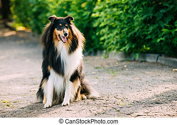 Tricolor Scottish Rough Long-Haired English Collie Lassie...
