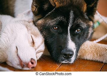 kutya, fiatal,  akita, amerikai, héjas, eszkimó, kutyus, boldog