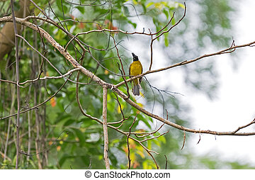 Black-crested bulbul bird in black and yellow perching on...