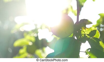 the apple tree green morning sunlight garden agriculture...
