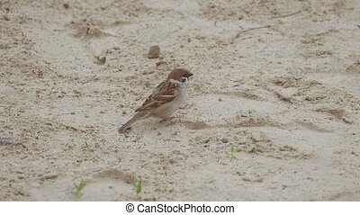 sparrow looks around slow motion video - sparrow stands on...