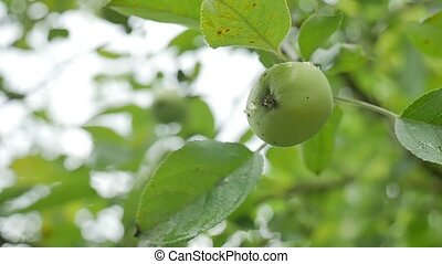 green apple hanging on a tree, dew water drops slow motion...