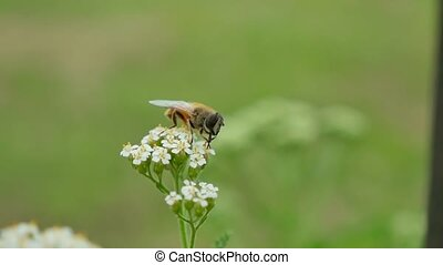 bee gadfly sitting on flower on a green background nature...