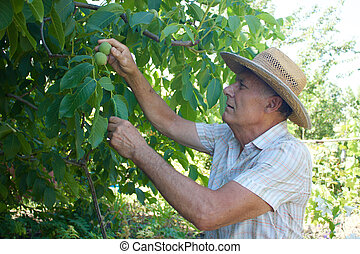 Old man picking nuts from the tree