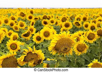 Large Happy Sunflower And Sunflower Oil Crop On A Sunny Day...