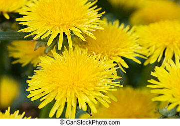 yellow dandelion in the grass green meadow