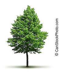 Lone green leafy tree isolated on white background, with...