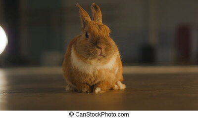 Close up of funny Pet rabbit - Close up of Pet decorative...