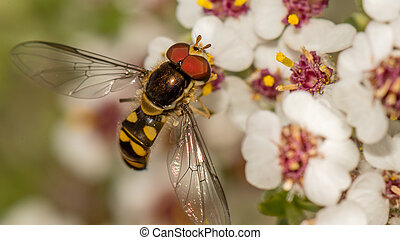 Marmelade Hoverfly - Tiny Marmelade Hoverfly collecting...