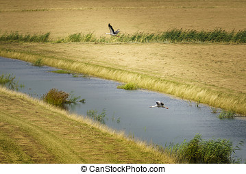 Take-off in the Biesbosch - Pair of storks in flight in the...