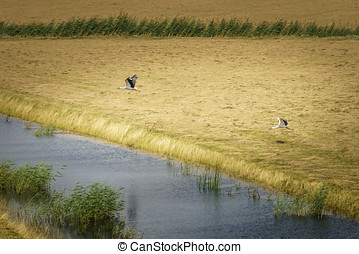 Two storks taking flight - Storks in flight in the national...