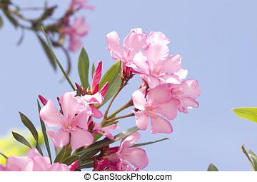 Pink oleander over a blue sky