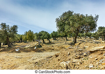 Olive trees in Thassos - Olive trees in the mountain of...