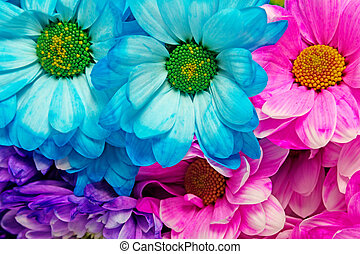 Colorful Of Rainbow Chrysanthemum Flowers - Colorful of...