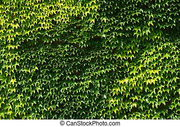 boston ivy plant background -