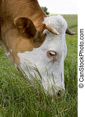 Cow Bothered By Flies On A Mountain Pasture - Brown cow with...