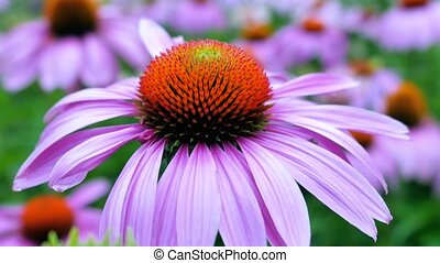 purple cone flowers - View of purple coneflower from blurry...