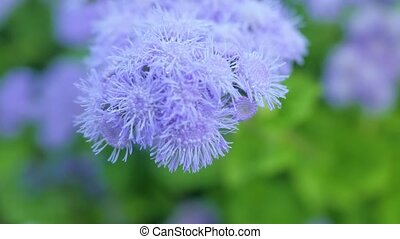 Fluffy purple flower