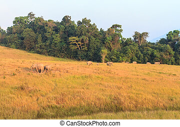 Herd of elephant at Khao Yai national park a unesco world...