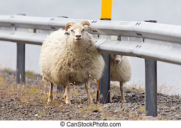 Two Icelandic sheep - Icelandic sheep at the side of a road