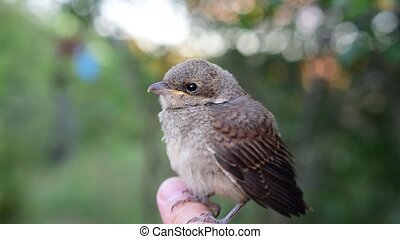 Sylvia communis. Whitethroat in the wild nature. - Sylvia...