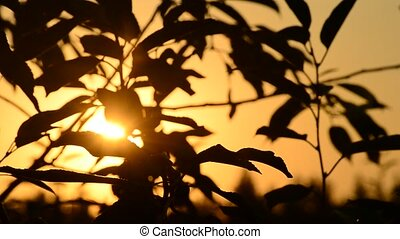 Sun shines through black silhouettes of leaves on tree at...