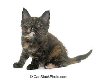 maine coon kitten in front iof white background