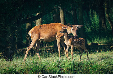 Red Deer mother and calf keeping close together