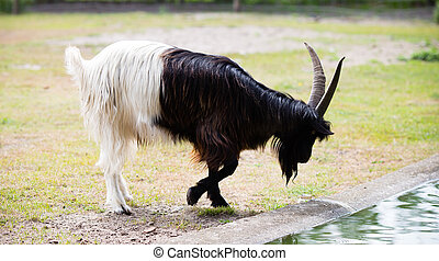 Billy goat on the wild national park.
