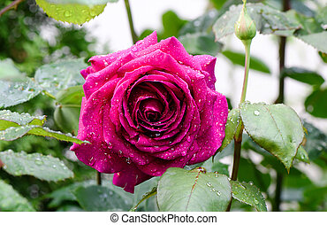 Close up photo of beautiful pink rose with drops of water in...