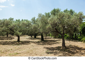 landscape of olive trees