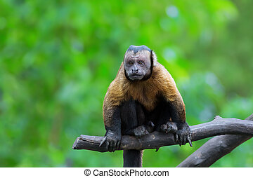 Brown Capuchin monkey sitting on a tree branch in the...