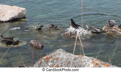 Baikal seal Pusa sibirica on Ushkany Islands. - Baikal seal...