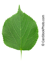 One green leaf of linden-tree isolated on white background...