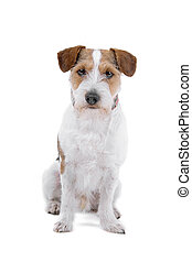 Jack russel terrier - Long haired jack russel terrier dog...