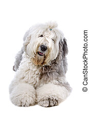 Old english sheepdog bobtail - Front view of an old english...