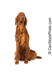Irish setter dog (red setter) sitting, isolated on a white...