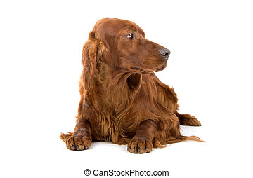 Irish setter dog (red setter) lying and looking forward,...