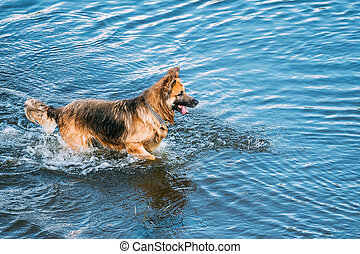 Adult Alsatian Wolf Dog, Running In Blue Water Of River Lake...