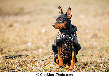 Black Miniature Pinscher Pincher - Young Black Miniature...