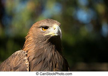 Close Up Eagle Haliaeetus Albicilla. Wild Bird - Close Up...