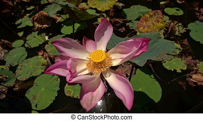 Macro Pink Flower Lotus with Pistil - closeup macro...