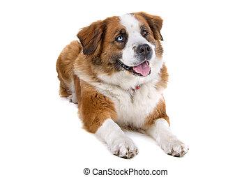 Mixed breed saint bernard dog lying down and panting,...