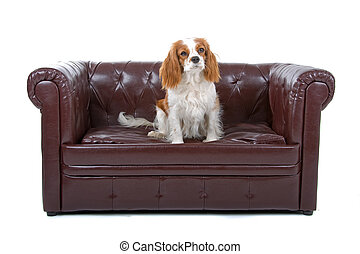 Cavalier King Charles SpanielCav, Cavalier, Cavie sitting on...