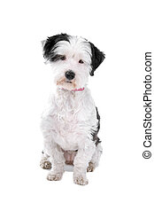 Mixed breed boomer dog sitting, isolated on a white...