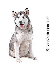 Alaskan malamute dog (maly) - Front view of an Alaskan...