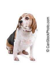 beagle dog sitting and looking away, isolated on a white...