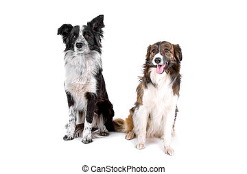two border collie dogs - front view of two sitting border...