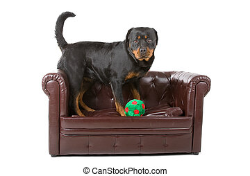 rottweiler dog and a ball up on a couch, isolated on a white...